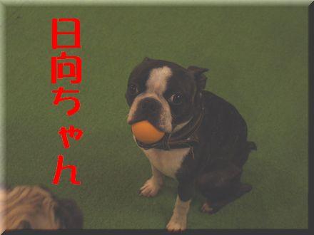 看板犬ボステリ日向ちゃんと対決!4