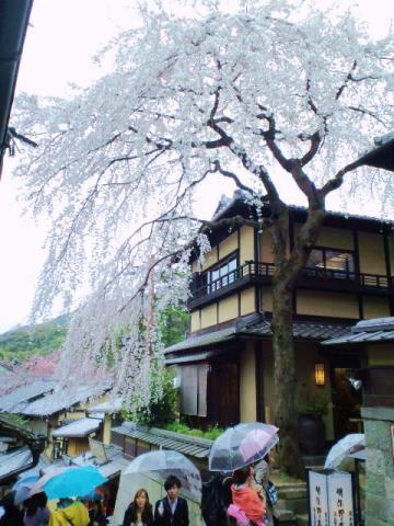 明保野亭の桜