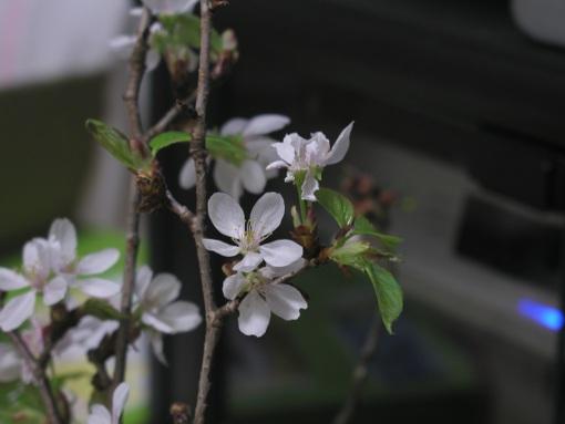 いただきものの桜