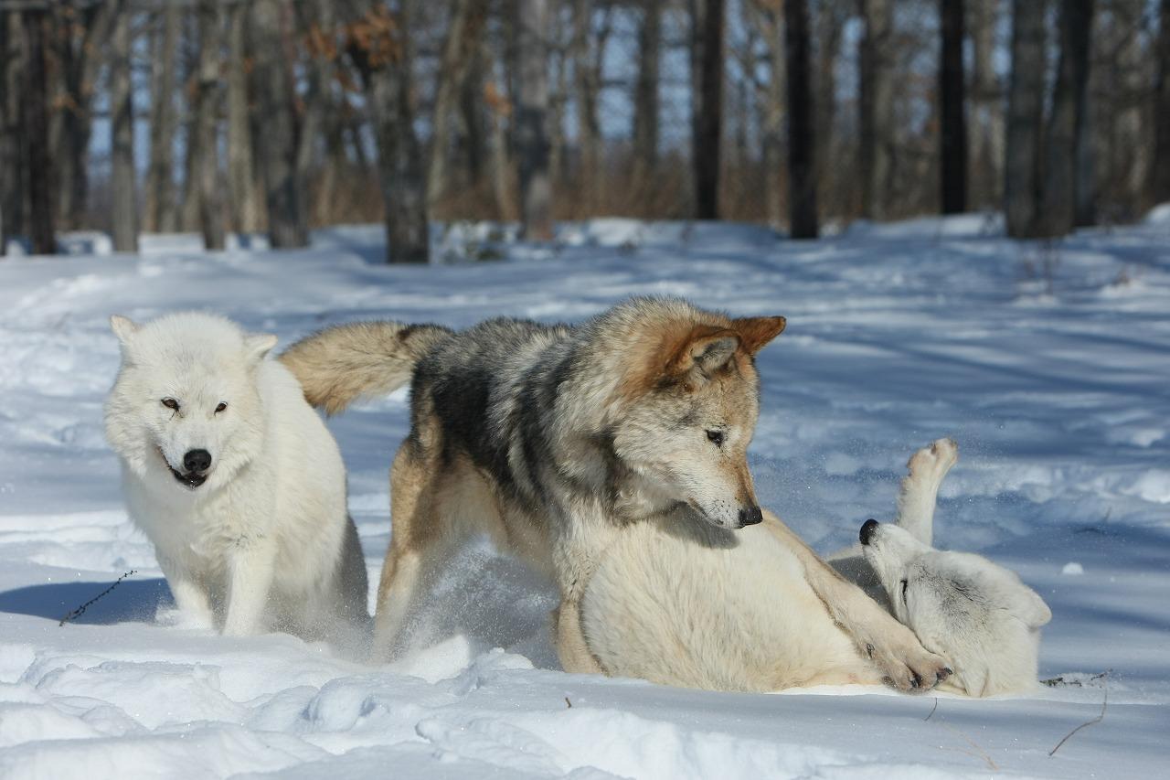 オオカミ1
