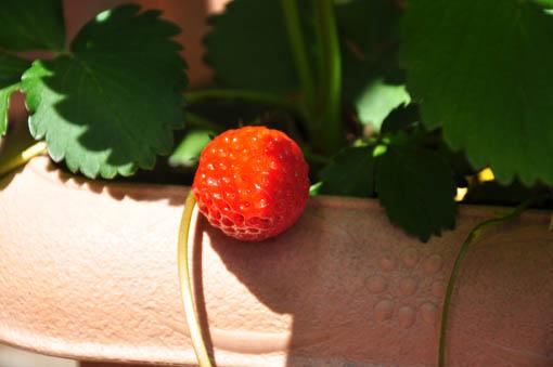 Strawberry 2013