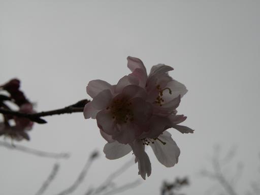 jsakura2.jpg