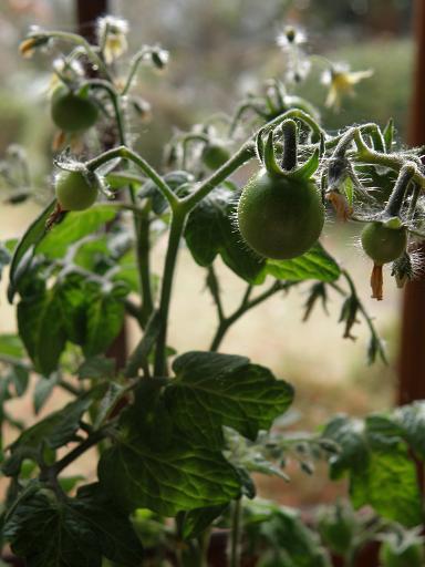 tomato111.jpg