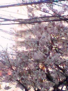 スタジオ前の桜
