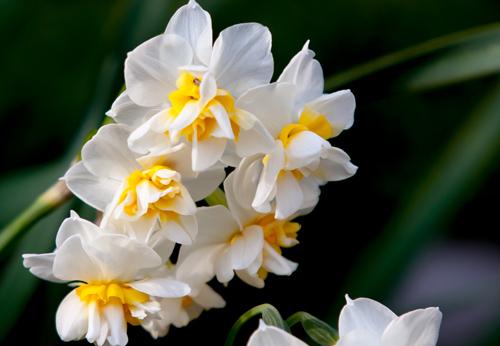 2013水仙の花