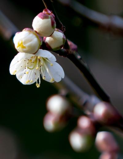 2013梅の花白