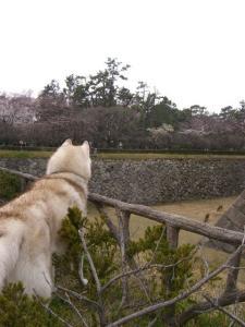 2010 3月名古屋城 033
