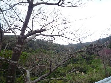 八重岳桜3