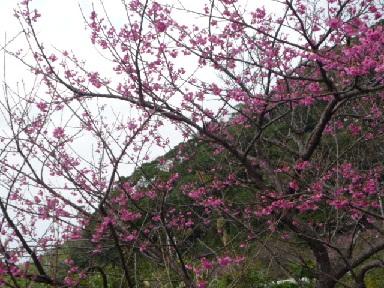 八重岳桜2