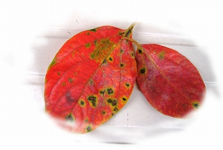 柿の葉っぱ