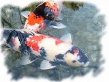 城南宮の鯉