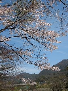千丈寺湖のサクラ