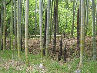 竹林のたけのこ