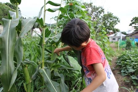 トウモロコシを収穫