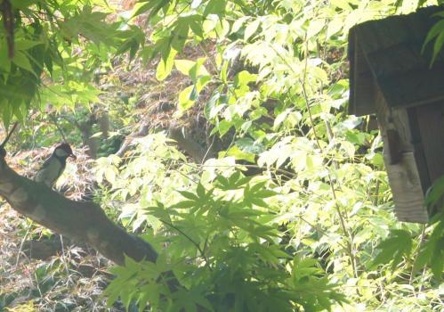 DSC01946シジュウカラ餌運ぶ
