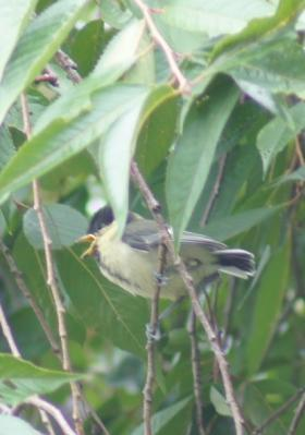 DSC05245幼鳥鳴いてる