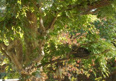 DSC07874えさばことカエデの木