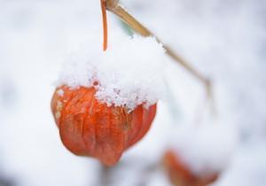DSC02220ほうずき雪