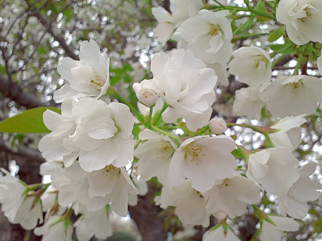 ホテルの桜