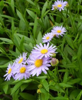 シオンと紫苑