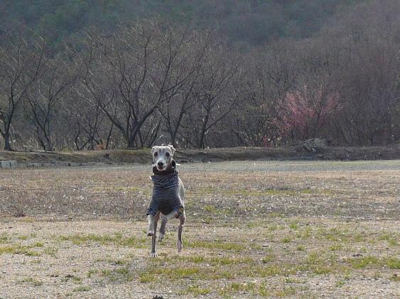 犬が走る姿は、見ていて飽きない♪