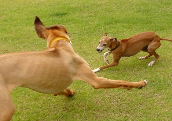 大型犬は耳も分厚くて重そう。