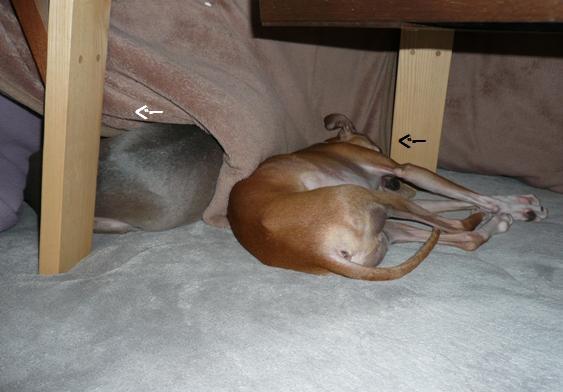 トトは毛布と掛け布団の間がお気に入り