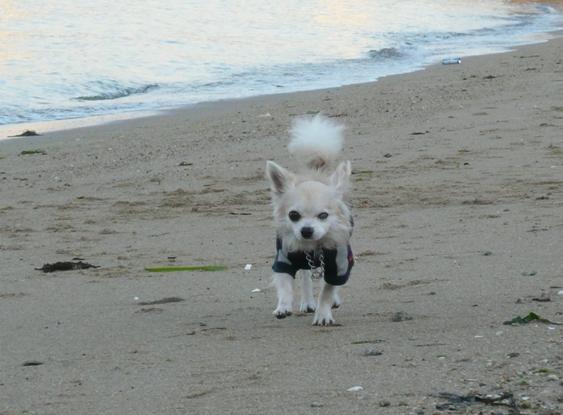 砂浜は走りにくいらしいチワ
