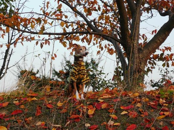 落ち葉とディオ。トトが走って行っちゃったので、目で追ってます。