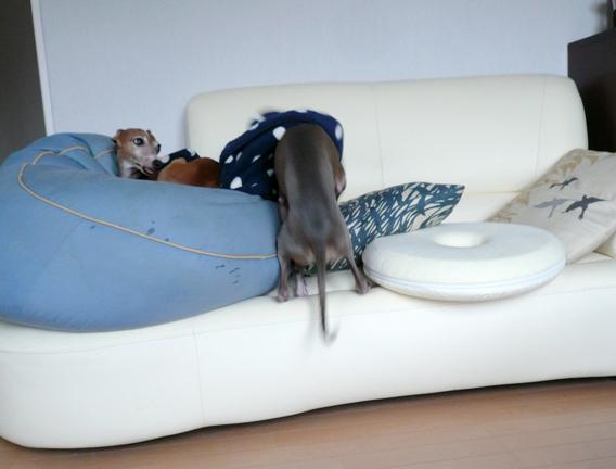 まだ毛布の要らないチワは、ひとり平和にベッドで寝ております。