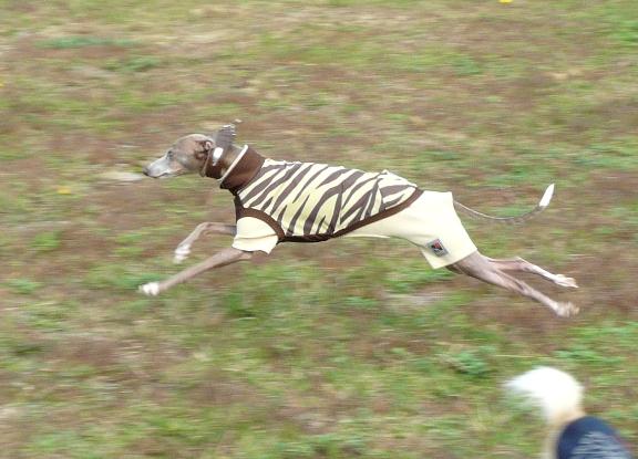 走る姿はトトが一番男前です(この写真はイマイチだけど)