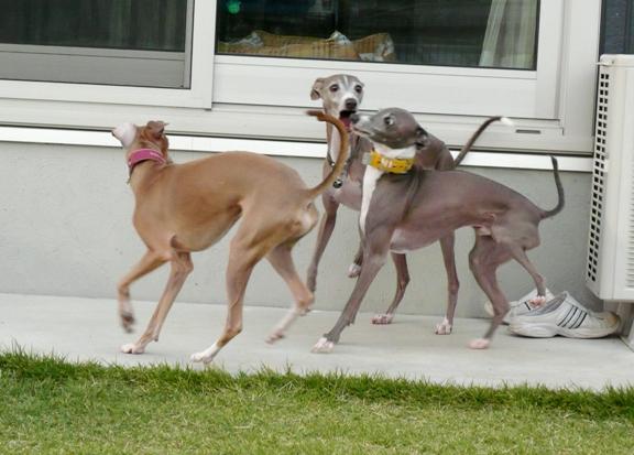ほとんどの時間を犬走り土間で過ごすトトとチワ。