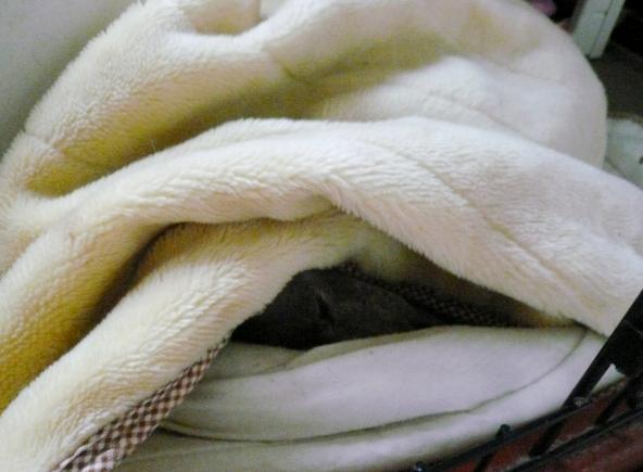 イタグレが居ると、猛暑中も毛布はしまいません。。