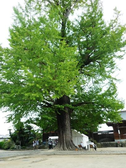 樹齢800年なのに若々しい樹です
