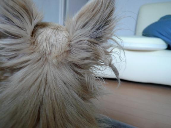 耳毛も可愛いチワ