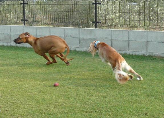 麗ちゃんが大型犬と一緒に走ってるの、初めて見ました~。