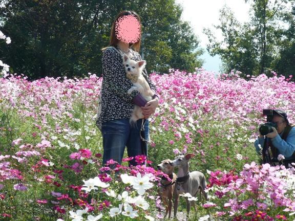 コスモス畑と乙女。(←乙女!?)