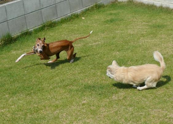 しかし、暑さで芝生が元気なし。。