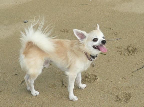チワは波が怖いので、あんまり海が好きではなさそう。