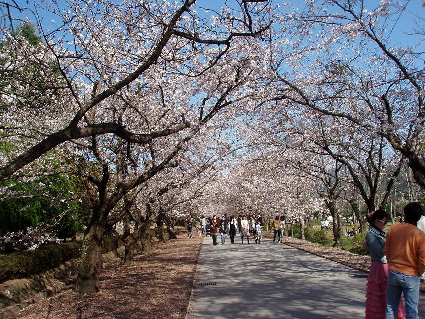 鏡の公園 桜のトンネル