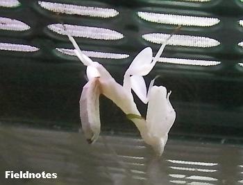 ハナカマキリの幼虫(ある種のランの花に似ているそうです)[伊丹市昆虫館]