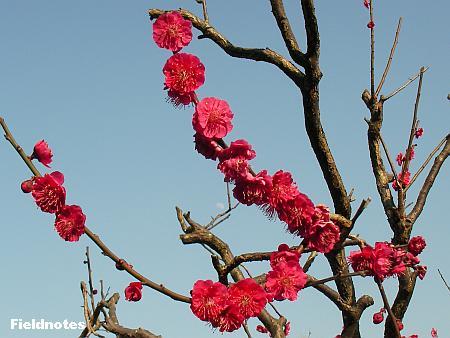 鹿児島紅(花梅/緋梅系標準咲)