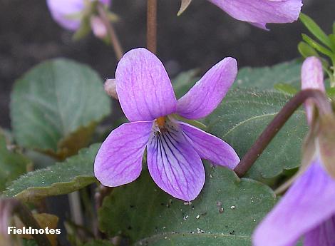 コスミレ? の花