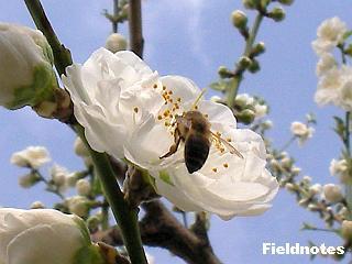 関白(花桃)とミツバチ