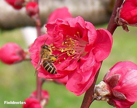 寒緋(花桃)とミツバチ