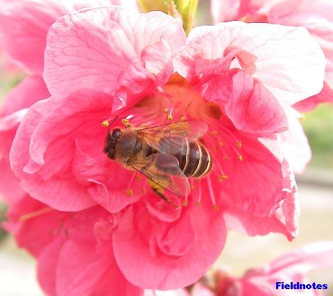 矢口(花桃)とニホンミツバチ(多分)