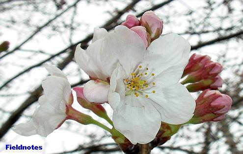 満開まであと少し?の桜