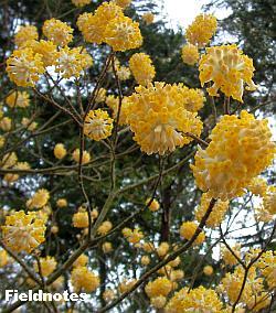 ミツマタの黄色い花