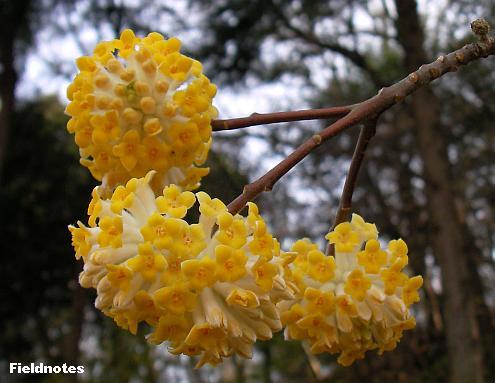 三つに分かれた枝先のミツマタの花