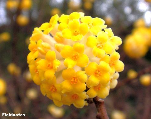 ミツマタの黄色いくす玉